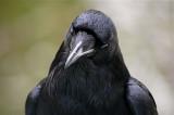 Raven - Yosemite