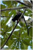Tamarin à mains jaunes (Saguinus midas)