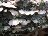 Crep Fungi