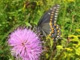Swallowtail Breakfast