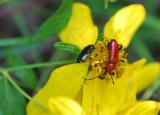 Long-horned Beetle species ?