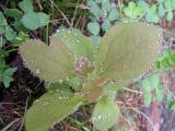 Dew-laced Sassafras