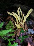 Coral Fungus ?