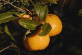 Mandarins - Early Imperial in my garden