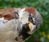 hm ... Sparrow  closer up