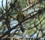 warblers_vireos