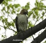 handsome redtail Mnt. Auburn.jpg