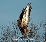 rough-legged hawk plum island