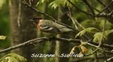 bay breasted warbler plum island