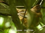 female towhee plum island