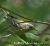 northern parula warbler plum island