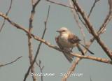 scissor-tail flycatcher sandy point pi