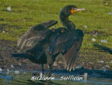 double crested cormorant  plum island