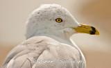 ring-billed_gulls