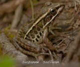 young pickerel frog maine