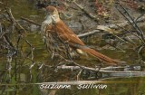 brown thrasher bathing plum island