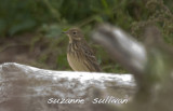 american pipit sandy point pi