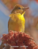 summer_tanagers