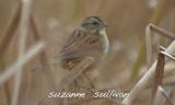 swamp sparrow  GNWR concord