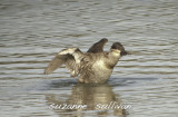 ducksgeese_etc