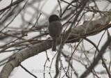 melanistic chickadee plum island