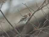 redpoll wilmington