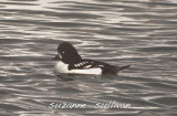 barrow's goldeneye merrimack r. lowell