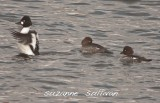 common goldeneyes merrimack r. lowell