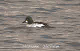 common goldeneye merrimack lowell