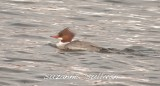 female common merganser merrimack lowell