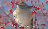 mockingbird guarding winter berry plum island