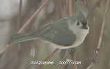 tufted titmouse wilmington