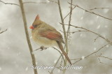 female cardinal wilmington