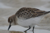 semipalmated  sandpiper sandy point another variation