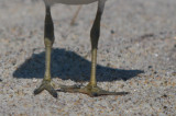 odd feet semipalmated plover sandy point plum island