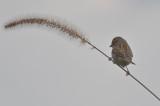 clay-colored sparrow wardens plum island