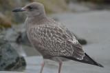 juv herring gull barhead rocks plum island