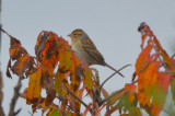 clay colored sparrow plum island
