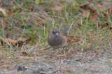 oregon looking type junco sandy point