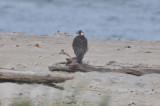 very blondeish peregrine imm. sandy point