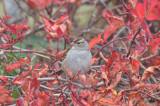 white-crownd sparrow plum island