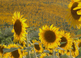 Tuscan Sunflowers 3
