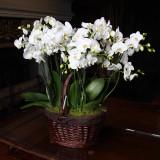 Orchids, Chateau de Chenonceau