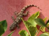Lizard, Sienna