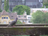 Pigeon at Buda Castle (AB)