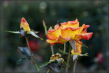 a visit to the rose garden (a mystery)