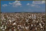 Cotton fields below, cotton sky above...