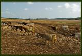 Sheep with no shepherd