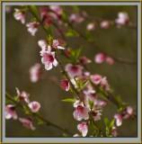 Peach blossom 2009