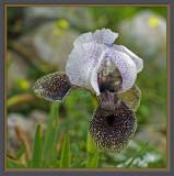 Iris of Nazareth